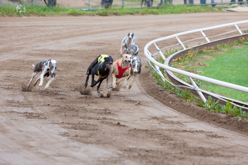 Best Way To Bet On Greyhounds
